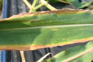 potassium deficiency, crop-tech, croptech