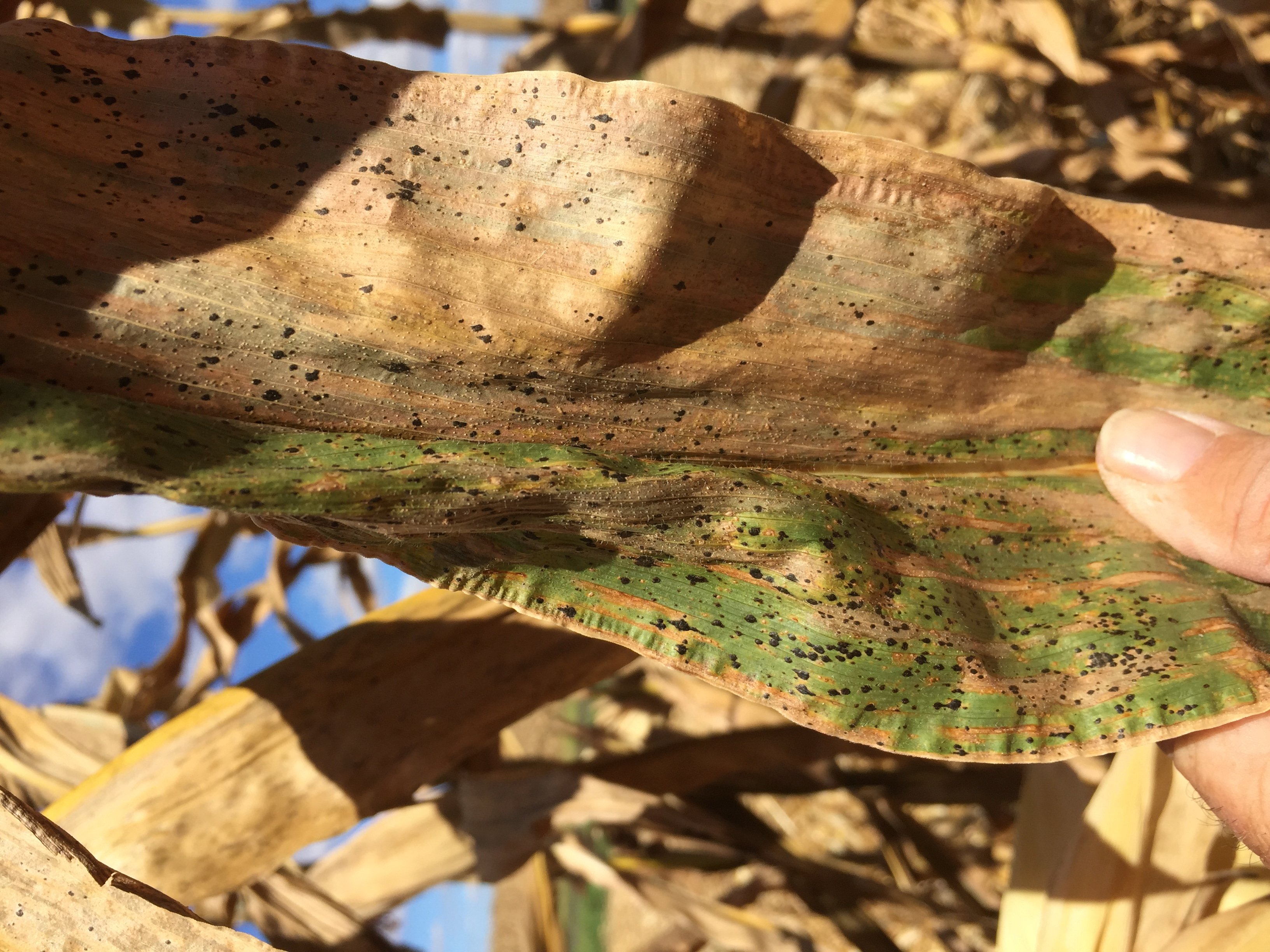 tar spot disease